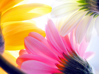 Three colors Gerbera Stock photo [887862] Flower