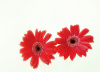 A red Gerbera Stock photo [888728] Gerbera