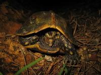 Ryukyu black-breasted leaf turtle Stock photo [890317] Turtle