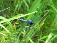 Giant Orthetrum albistylum Stock photo [892876] Dragonfly