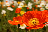 Poppy Stock photo [893483] Poppy