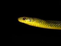 Ryukyu blue snake Stock photo [894625] Snake