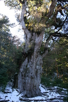 Winter of Jomon cedar Stock photo [895104] Jomon