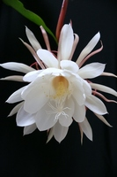 Queen of the Night Stock photo [896161] Flower