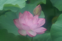 Lotus Stock photo [896205] Flower