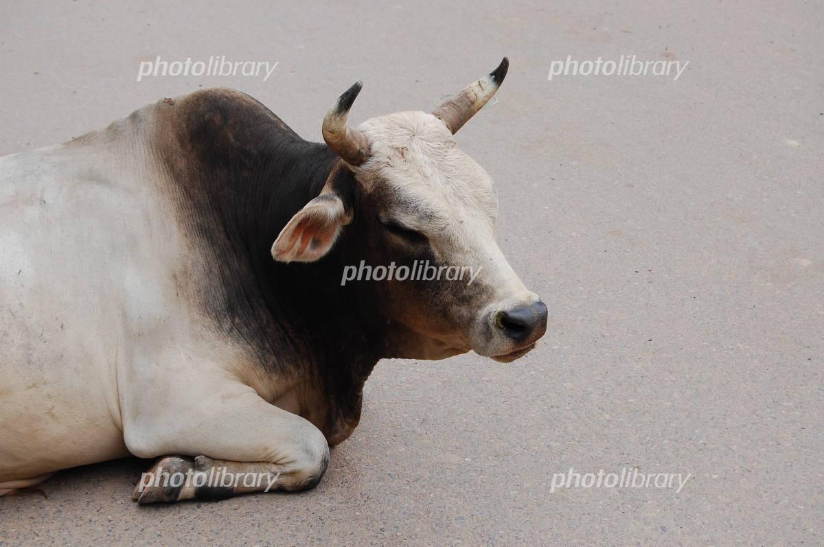 寝ている牛の写真