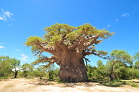 Tree of the oldest baobab Stock photo [989814] Baobab