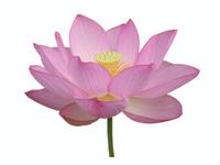 Pink lotus flower white background Stock photo [989949] Lotus
