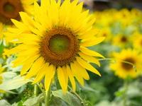 Sunflower Stock photo [990000] Sunflower