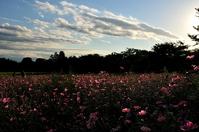 コスモス畑の夕景