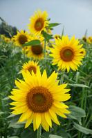 Sunflower Stock photo [994454] Summer
