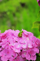 Tree frog and hydrangea Stock photo [994756] Tree
