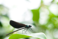 Hagurotonbo it stops the leaves Stock photo [996388] Dragonfly