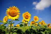 Sunflower field Stock photo [1095668] Sunflower