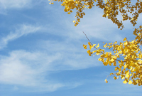 Ginkgo of yellow leaves and sky Stock photo [1097609] Natural