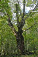 Big tree symbol beech Shirakami Stock photo [1098536] Beech