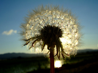 Dandelion fluff Stock photo [1103928] Sunset