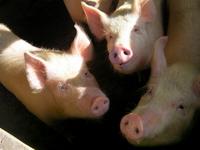 Three little pigs Stock photo [1104048] Pig