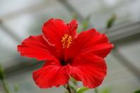 Hibiscus Stock photo [1107767] Flower