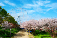 Tempozan Ferris wheel and cherry trees Stock photo [1109178] Park