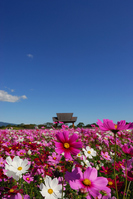Cosmos field of west Miyakobaru Stock photo [1109623] Cosmos
