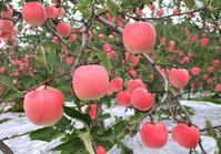Red apple Stock photo [1109626] Aomori
