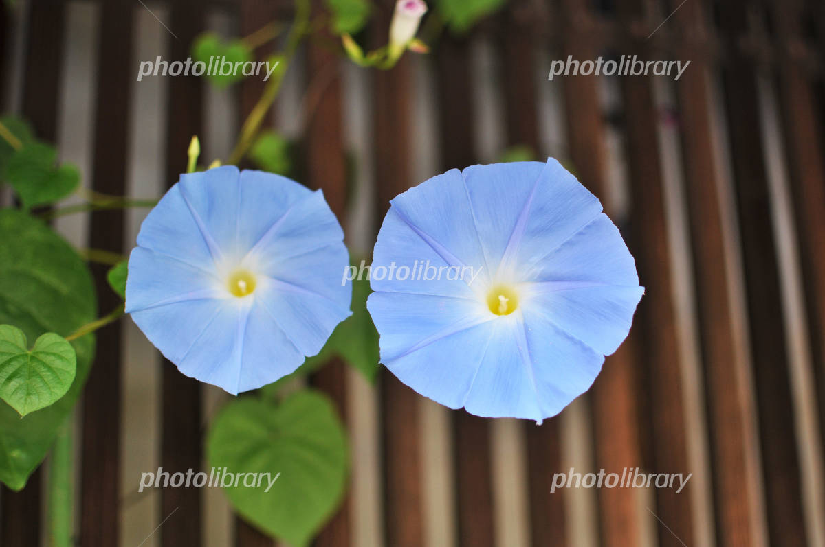 Morning glory under the eaves Photo