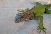 Green Iguana Stock photo [1202815] Panama