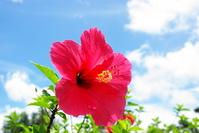 Hibiscus Stock photo [1203789] Okinawa