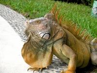 Green Iguana Stock photo [1204513] Iguana