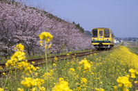 Spring Isumi railway Stock photo [1205879] Cherry