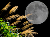Moon and pampas grass Stock photo [1207521] Moon