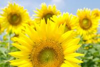Full bloom of sunflower field Stock photo [1208418] Sunflower