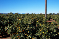 Orange groves of Spain Villarreal Stock photo [1210081] Spain