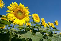 Flower garden of sunflower Stock photo [1210854] Sunflower