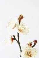Plum blossom Stock photo [1213304] Plum