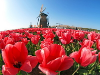 Red tulip and windmill Stock photo [1213642] Tulip
