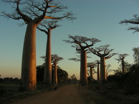 Baobab Road Stock photo [1213790] Madagascar