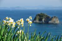 Nobozaki of daffodils Stock photo [1214121] Nomozaki,