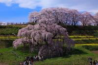 Miharu Takizakura spring people in each full bloom Stock photo [1214374] Taki