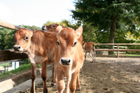 Calf our Jersey cow Stock photo [1215789] Jersey