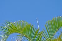 Okinawa Phoenix and blue sky Stock photo [1217249] Phoenix
