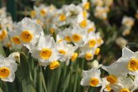 Narcissus flowers Stock photo [1218602] Narcissus