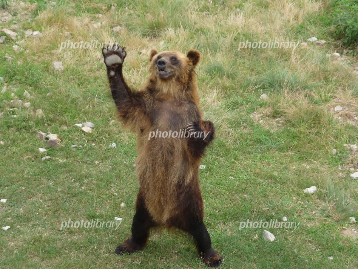 エサを欲しがるクマ-写真素材 エサを欲しがるクマ 画像ID 1299615  エサを欲しがるクマ