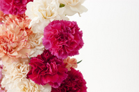 Carnation bouquet Stock photo [1294513] Carnation