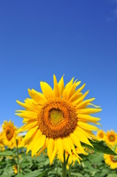 Blue sky and sunflower Stock photo [1295183] sunflower