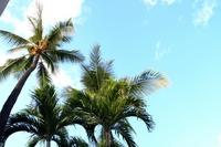 The palm trees on blue sky Stock photo [1295934] Palm