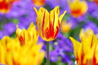 Tulip Stock photo [1297285] Flower