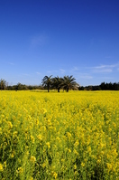 Rape field of 渥見 Stock photo [1298269] Rape