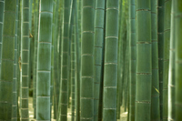 Bamboo forest Stock photo [1298302] Bamboo